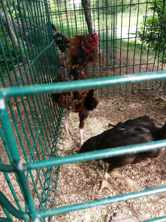 Coq poule avec poule pakitanese