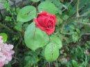 Photo de Red-Rose-Metal