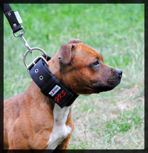 collier pour chien staffy