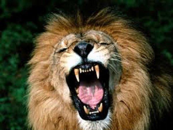 Pas de place en prison ? Dans la fosse aux lions !