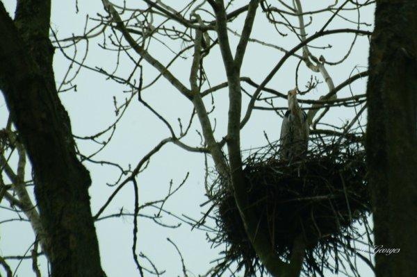 héron cendré sur son nid