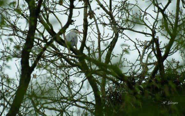 héron cendré près de son  nid