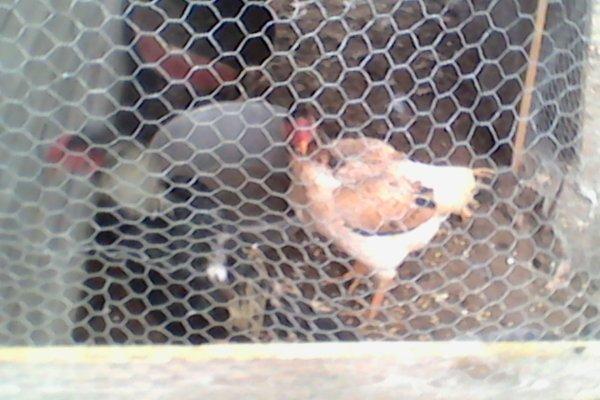 ma poule shamo et mon coq