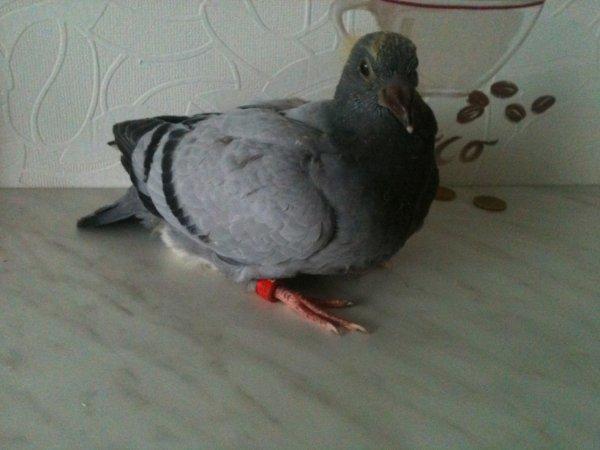 un grand merci a dylan d auchy qui ma offert ce pigeon