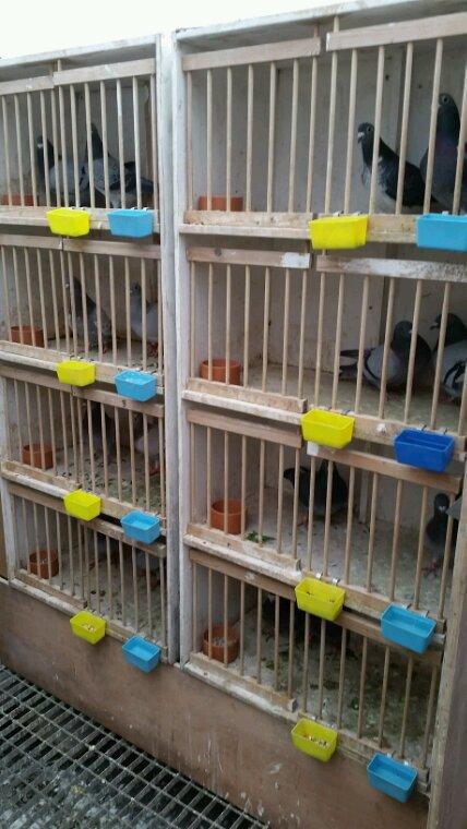 Accouplements des pigeons