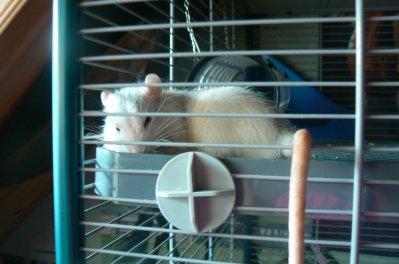 LE RATS !!!!!! DOMESTIQUE !!!!!!!!!!!!!!!!!!!!!