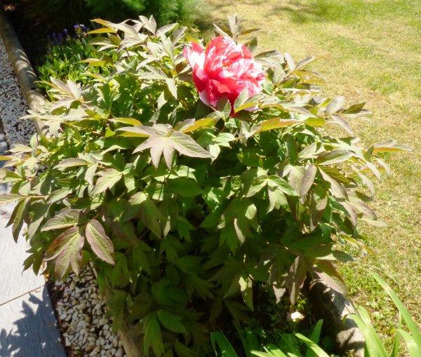 clivia et ,  pivoine la pivoine a très tôt connu le succès grâce à ses vertus curatives. Au regard de son incomparable beauté, elle n'a pourtant rien à envier à la rose, et est particulièrement plébiscitée pour la Fête des Mères ! Fleur de légendes vénérée par les Chinois, la pivoine a beaucoup à nous conter…