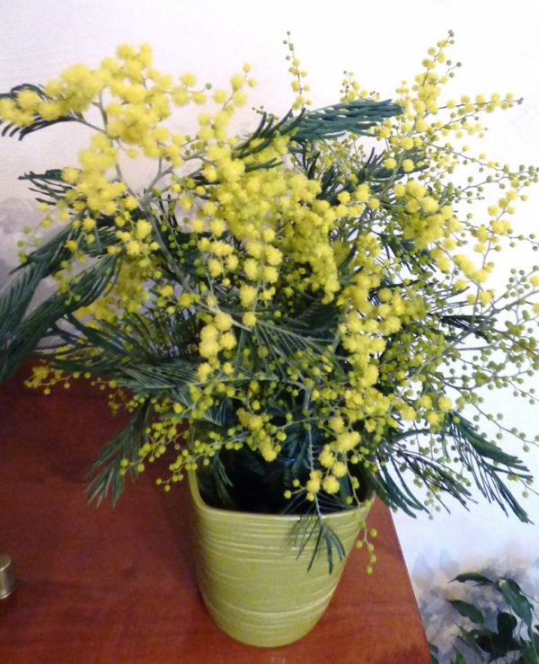 à vous qui passé sur mon blog mon 1er bouquet de mimosa Je cueille le bouquet😘 que je prends à pleins bras Et soudain, la maison se remplit de lumière A l'or du mimosa descendu des clairières