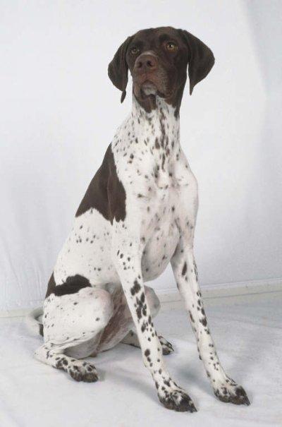 Dresser un chien de chasse pointer
