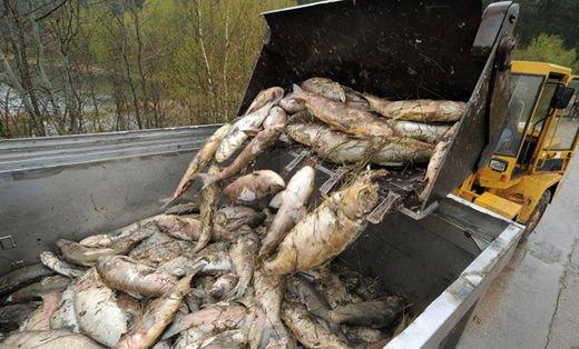 Allemagne : 25 tonnes de poissons morts en Thuringe