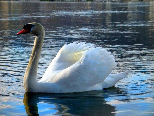 Le lac des cygnes, pour le plaisir