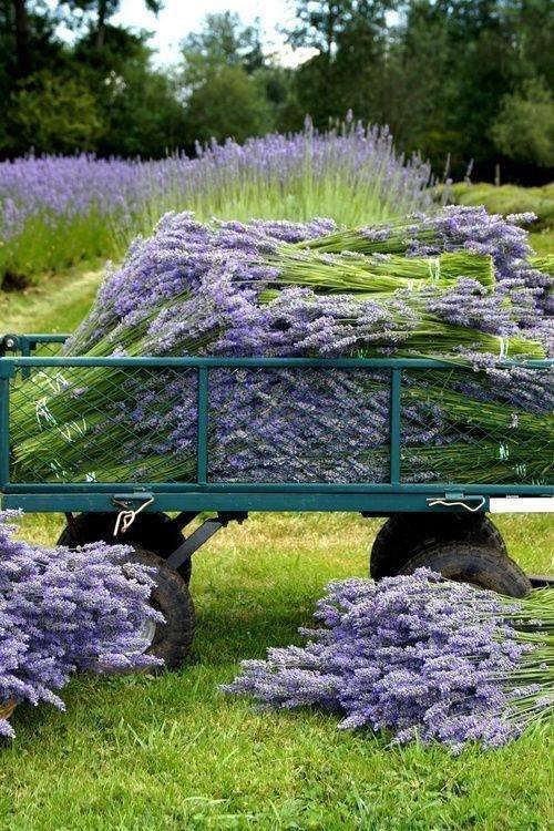 De la lavande de Provence