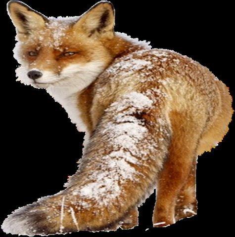 Certains animaux aiment la neige