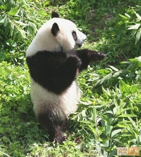 Journée nationale du panda !