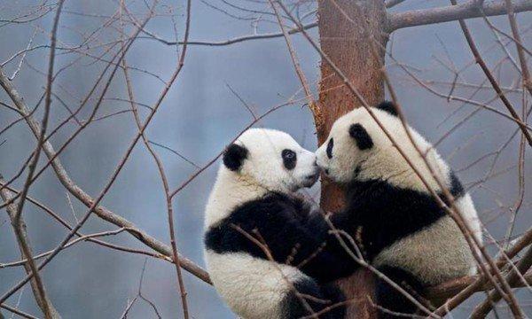 Journée internationale des pandas et du baiser !