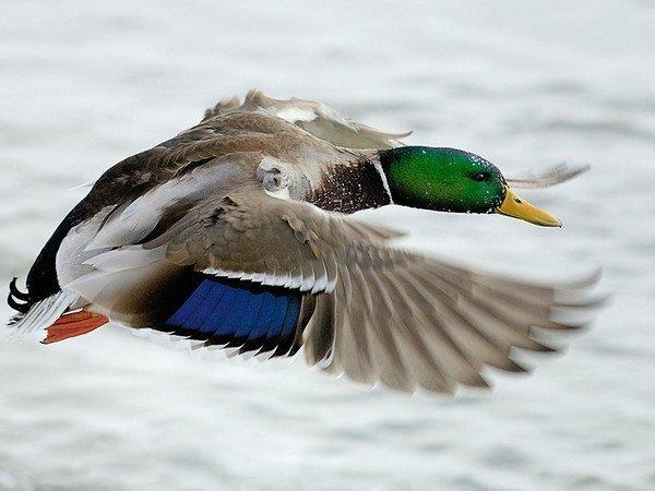 En avant, les canards ! Nous allons jusqu'à la marre !