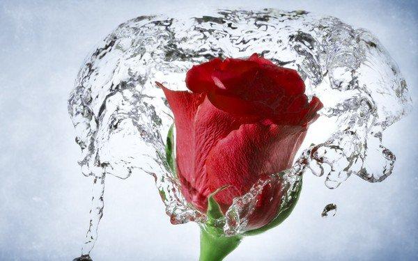 Une rose pour un jour...