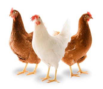 Le paon, l'autruche et les poulets : fable macronique récitée par Elodie POUX