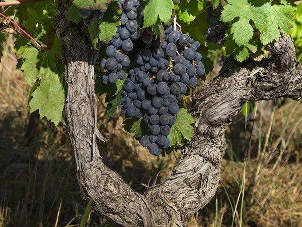 Mois d'août n'a jamais passé sans que raisin noir soit vendangé
