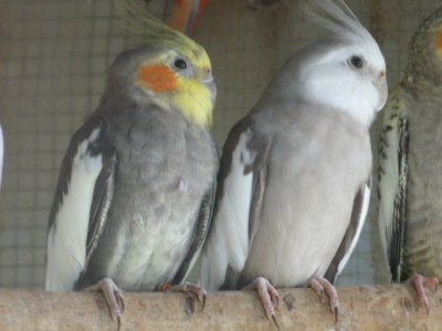 Males calopsitte.