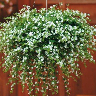 Fleurs jardiniere retombante for Plante vivace retombante