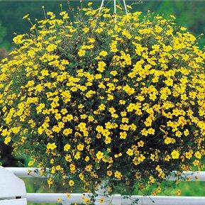 plante croissance trs rapide avec des feuilles trs fines et trs dcoupes et  des fleurs toiles jaunes trs abondantes with fleur tombante pour jardiniere