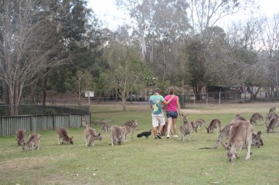 Koala sanctuary, dans la nature avec les koalas et kangourous