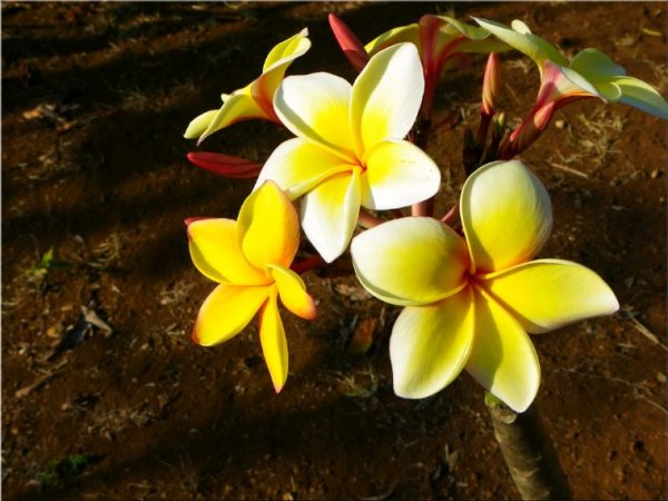 Fleurs tropico