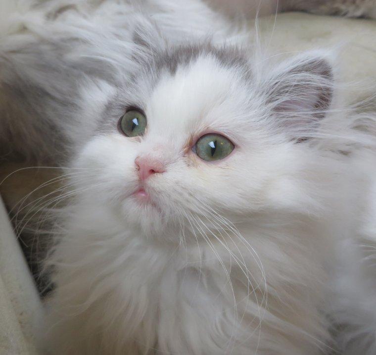 Ilefaya (persan LOOF) est disponible à la réservation il est vendu en tant que chat de compagnie