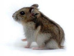 un hamster russe !!!!!!! j'ai le même !!