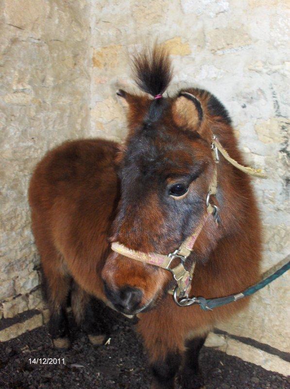 un poney shetland pas comme les autre