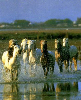 Le cheval de Camargue