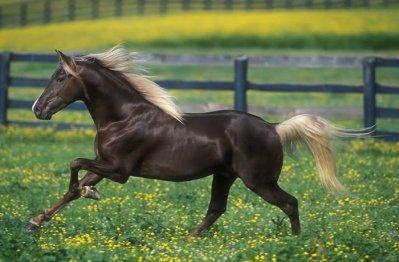 Le Rocky Mountain Horse