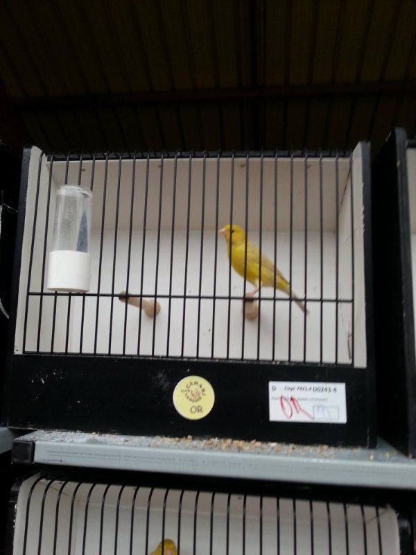 isabelle jaune intensif