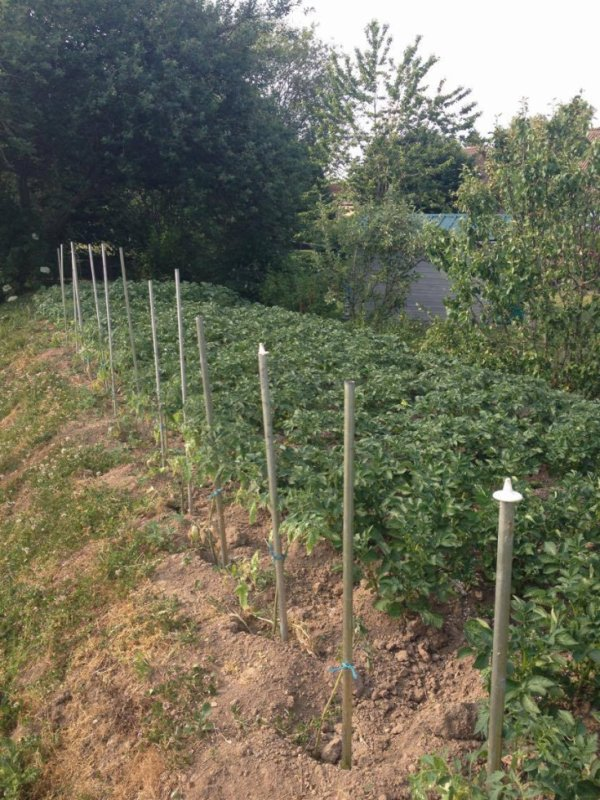 des tomates qui ne se trouve pas dans le commerce sans pesticides