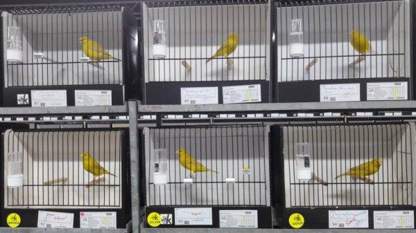 Ensemble  des isabelles  jaune  int  médaillé  à Louvain  le  mien en bas  à  droite  de  l' image