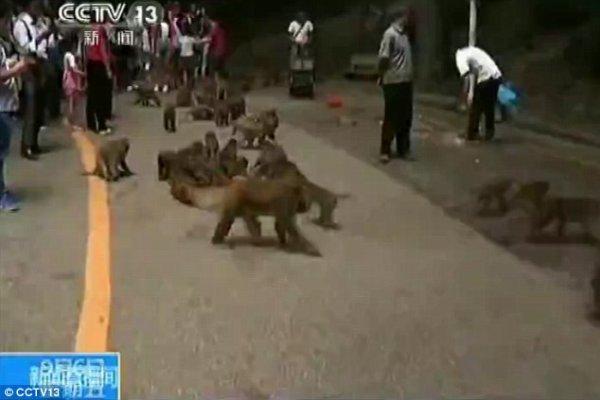 Un singe arrache le testicule d'un bébé et le mange dans un zoo chinois
