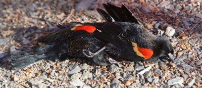 pluie d'oiseaux morts aux Etats  Unis