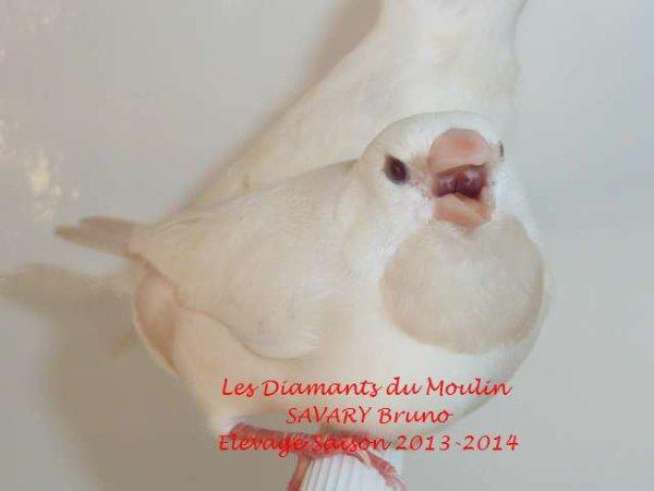 Les Bavettes à Croupion Blanc Mutation Crème INO Saison 2014