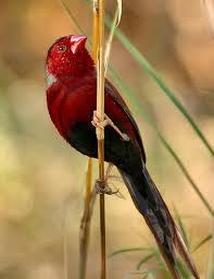 Diamant  Phaeton à Ventre Noir ou Crimson Finch (Neochmia phaeton phaeton)