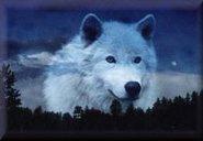 un beau loup blanc