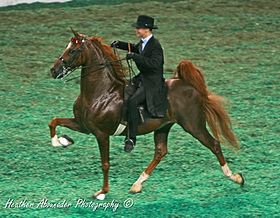 L'American Saddlebred (USA)
