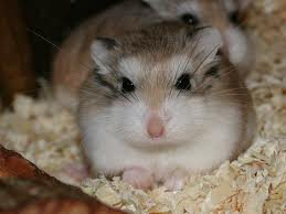 Un hamster ?