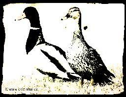Album Photos - Spécial Canards colverts !