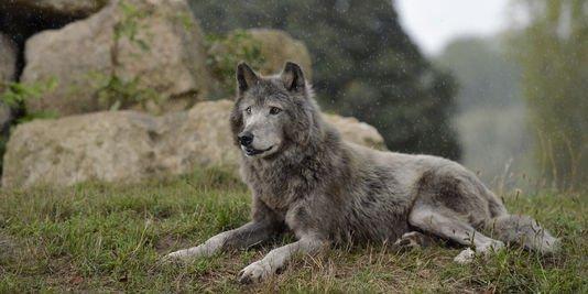 Illégal : Avis de recherche de 2000¤ sur un loup
