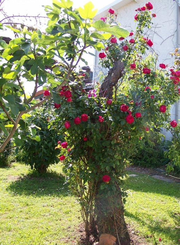 Pour le promenade dans le jardin blog de judylomacha2 - Comment couper une rose sur un rosier ...