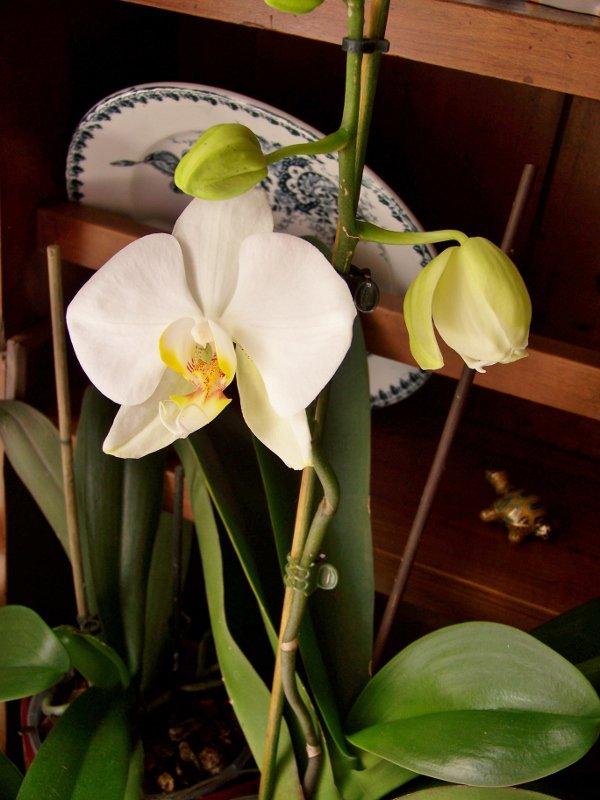 L'Orchidée refleurit