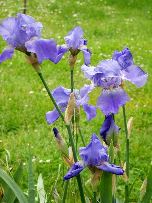 Les derniers iris