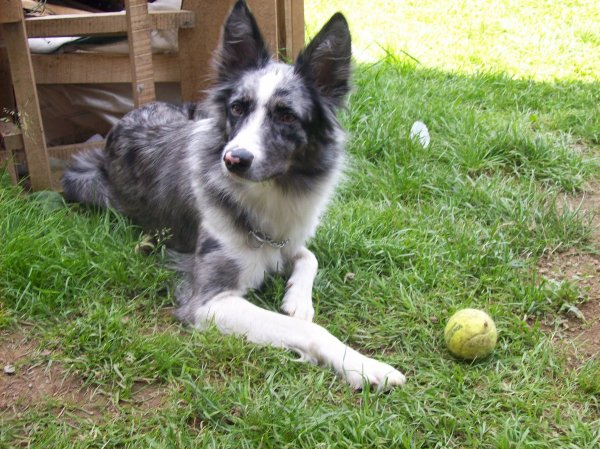 Small Collie Dog