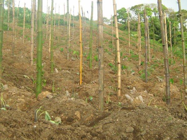 planter un igname